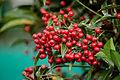 Ardisia crenata plant.jpg