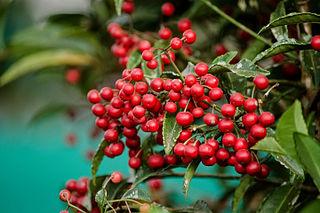 <i>Ardisia crenata</i> species of plant