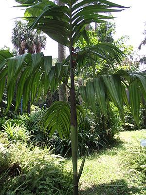 Areca triandra - Image: Areca triandra 三药槟榔 (天問) 001