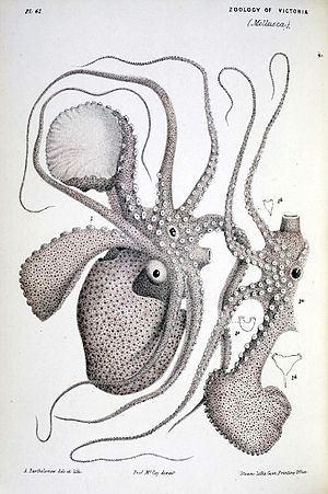 Argonaut (animal) - Image: Argonauta nodosa lithograph