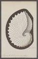 Argonauta tuberculosa - - Print - Iconographia Zoologica - Special Collections University of Amsterdam - UBAINV0274 090 01 0003.tif