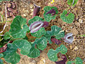 Aristolochia chilensis (8640786996).jpg