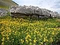 Arnica longifolia (29135004431).jpg