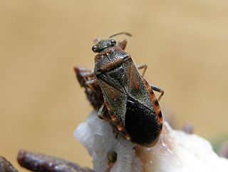 <i>Arocatus melanocephalus</i> species of insect