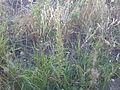 Artemisia biennis (7997944696).jpg