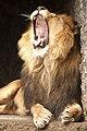 Artis Yawning lion (6954085397).jpg