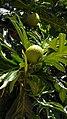 Artocarpus altilis in Brazil 2.jpg