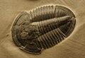 Asaphiscus Wheeleri 3.jpg