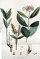 Asclepias cornuti — Flora Batava — Volume v13.jpg