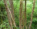 Ash Disease - Flickr - gailhampshire.jpg