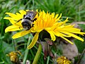 Ashy mining bee (Andrena cineraria), Hepworth, Yorkshire (7268400768).jpg