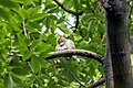 Asian barred owlet (Glaucidium cuculoides) SRI 11.jpg