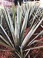 Asparagales - Agave tequilana - 3.jpg