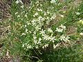 Asparagus suaveolens, d, Schanskop.jpg