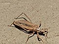 Assassin Bug (Oncocephalus annulipes) (12885347564).jpg