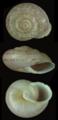 Assyriella guttata shell.png