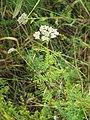 Asteraceae, Srbija (237).jpg