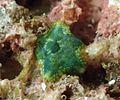 Asterinidae non identifiée.jpg
