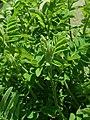 Astragalus canadensis 2019-04-16 0408.jpg