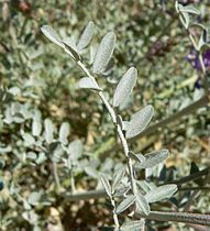 Astragalus lentiginosus var fremontii 4.jpg