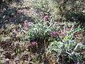 Astragalus mollissimus var. mogollonicus (23420696154).jpg