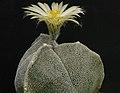 Astrophytum myriostigma cv. tricostata-002.jpg