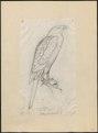 Astur macrourus - 1700-1880 - Print - Iconographia Zoologica - Special Collections University of Amsterdam - UBA01 IZ18300029.tif