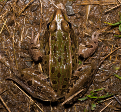Atlantic Coast Leopard Frog 02.png