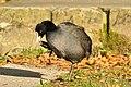 Auslikon - Strandbad - Fulica atra 2010-10-20 16-34-42.JPG