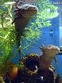 Axolotles in water 2.jpg