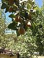 Ayva ağacı..Cydonia oblonga. (quince tree) - panoramio.jpg