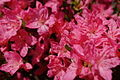 Azalea-flowers - West Virginia - ForestWander.jpg