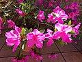 Azalea en flor.jpg