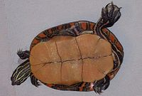 An overturned southern painted turtle facing right. Shell is yellow-tan without spots. Legs are splayed. On a white plastic background.