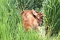 Baby elk - Jess Haglund - Black Hills National Forest.jpg