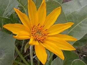 Balsamorhiza sagittata - Bright orange-yellow petals make the arrowleaf balsamroot easy to identify.