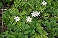 Baltais vizbulis (Anemone nemarosa), Ogresgala pagasts, Ogres novads, Latvia - panoramio.jpg