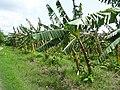 Banana trees in Inwa 2.jpg