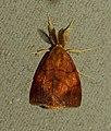 Banded Vapourer (Aroa discalis) (12720845285).jpg
