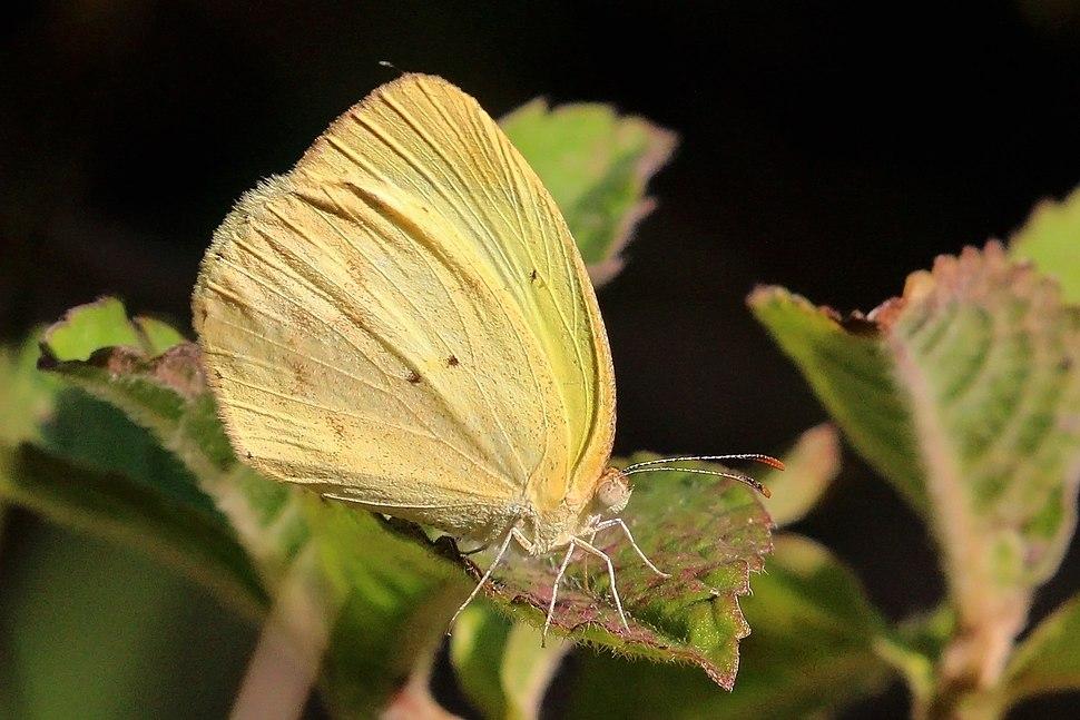 Banded yellow (Eurema elathea obsoleta)