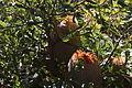 Banksia baueri inflorescences and foliage.jpg