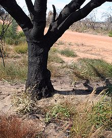 The charred trunk of a large burnt tree, with seedlings arising out of the bare sand around it