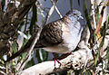 Bar shouldered dove 1 (14606211420).jpg
