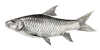 <i>Tor khudree</i> Species of fish