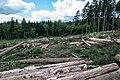 Bark beetle - destruction of forest.jpg