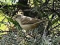Barred Warbler (Sylvia nisoria) (34406940671) (cropped).jpg