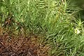 Bartramia pomiformis (a, 145414-481349) 4614.JPG