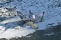 Bassin des Morts gelé, 2012-02-11, mouettes rieuses 06.jpg