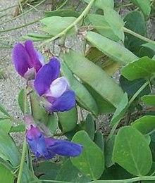 plants toxic to pond fish, Beach Pea, Lathyrus japonicus, plants toxic to koi