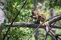 Bearded capuchin monkey (Cebus libidinosus) Crab.jpg